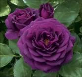 purple flowers 8
