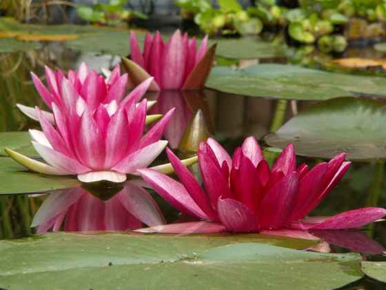 pink and green water lily